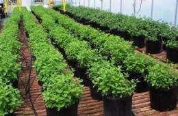 Using wastewater to enhance mint production