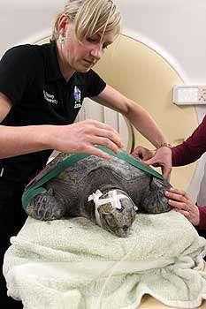 Wayward turtle gets TLC from wildlife vets