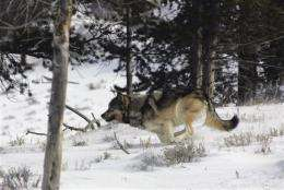Western lawmakers turn sights on endangered wolves (AP)