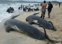 Whale beachings are not uncommon along the New Zealand coast