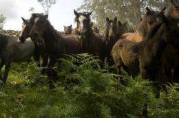Wild Iberian horses contributed to the origin of the current Iberian domestic stock