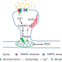 Mitochondrial flash signals long-term memory at neuronal synapse