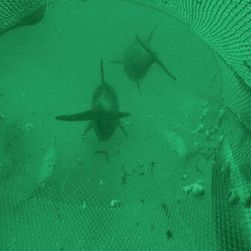 Dolphins filmed fishing in trawler nets modifications for Sjfc fish r net