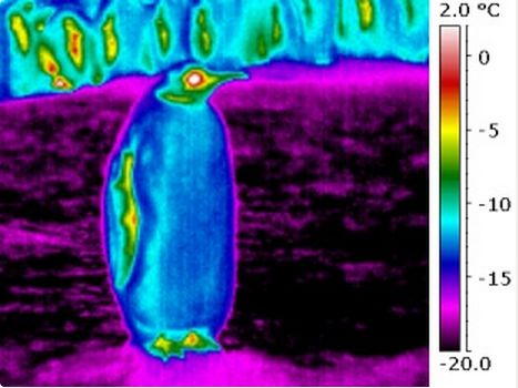researchers find emperor penguins outer feathers colder