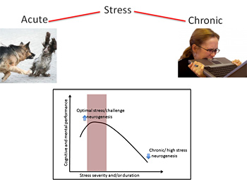 Why some stress is good for you? Acute stress primes the brain to ...