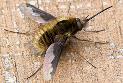 Bee-flies and false widow spiders top Museum enquiry - photo#50