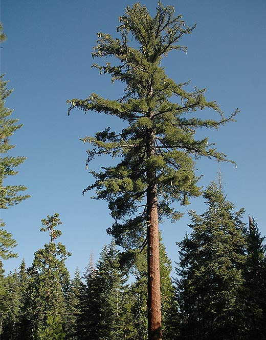 This cone laden sugar pine grows in the stanislaus tuolumne