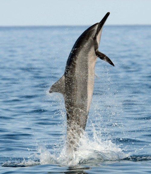 Spinner Dolphin | Bay Closures Proposed To Protect Hawaiian Spinner Dolphins