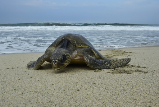 Drones And Troops Protect Mexico Sea Turtle Eggs