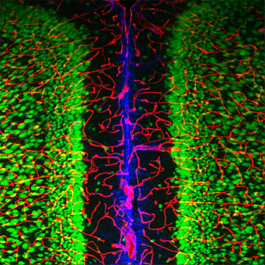 how do neurons and blood vessels quottalkquot to each other