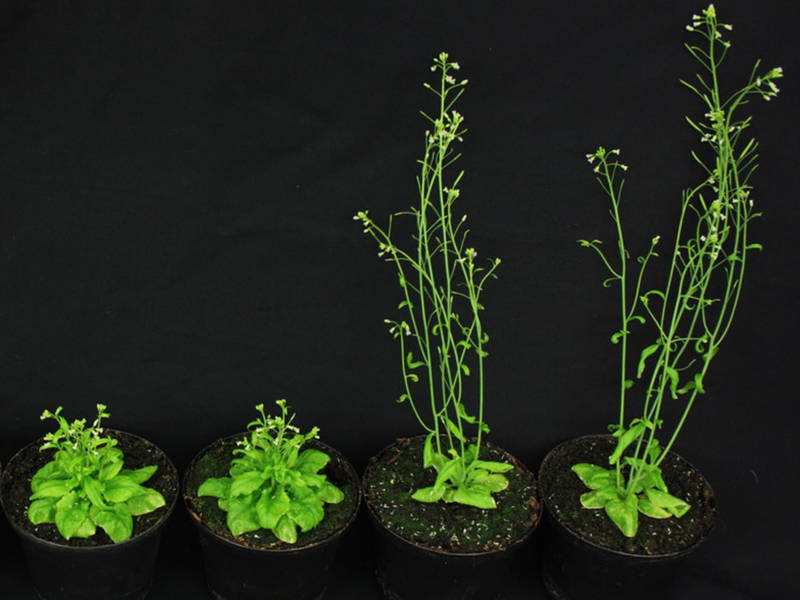 brassinosteroids essential regulators of plant growth and development