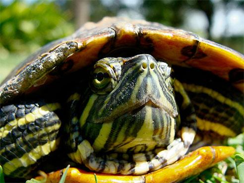 temperature dependent sex determination in turtles for sale in Birmingham