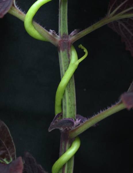 Ganado de mariposas y plantas hospederas - The Monarch Program
