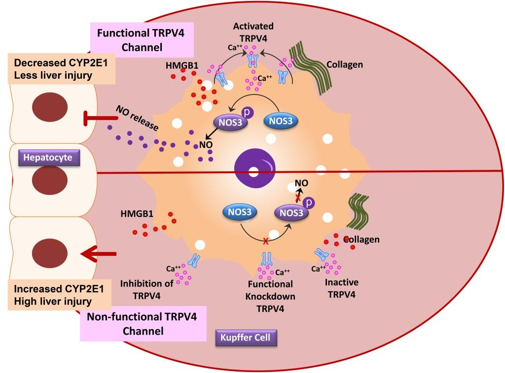Study finds new pathways to treat non alcoholic fatty liver disease nitric oxide released by trpv4 blocks cyp2e1 and prevents liver injury in non alcoholic fatty liver disease credit university of south carolina ccuart Gallery