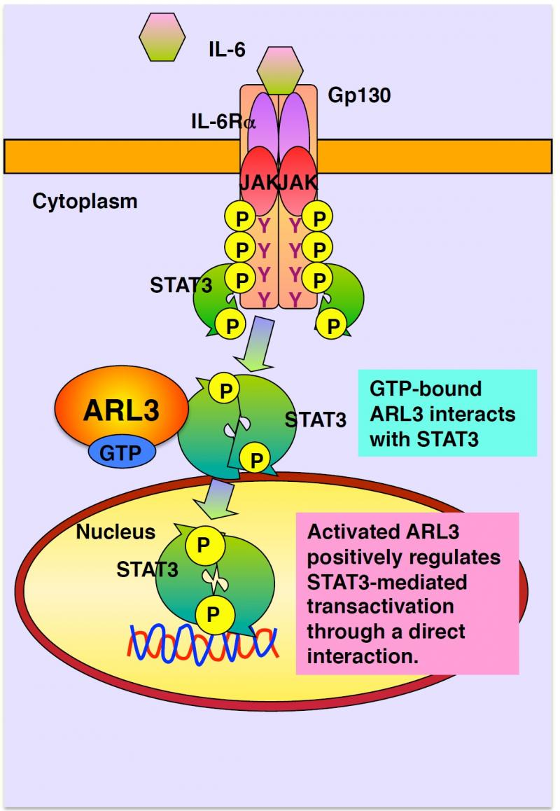 the mechanism of cell invasion for chagas disease and the proteins involved in the process of invasi