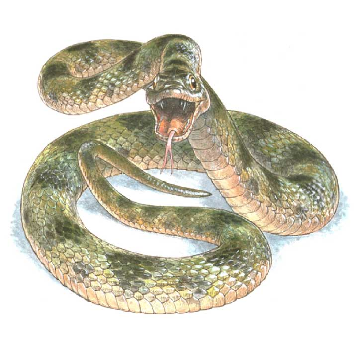 Artistic representation of the snake, classified in the Colubridae family, as it would have appeared in life. Credit: Jim Robbins, artist