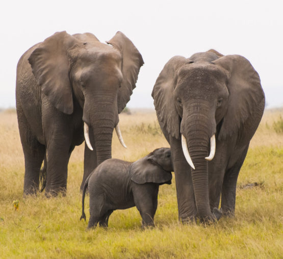 animals extinct humans elephant african elephants go extinction stanford they benefits scientists offer those save animal