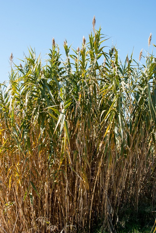 A Study Reveals The Impact Of The Giant Reed An Exotic Invader