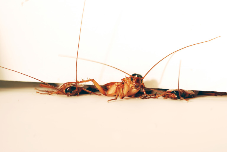 Can a cockroach flatten its self, sex girls and manky