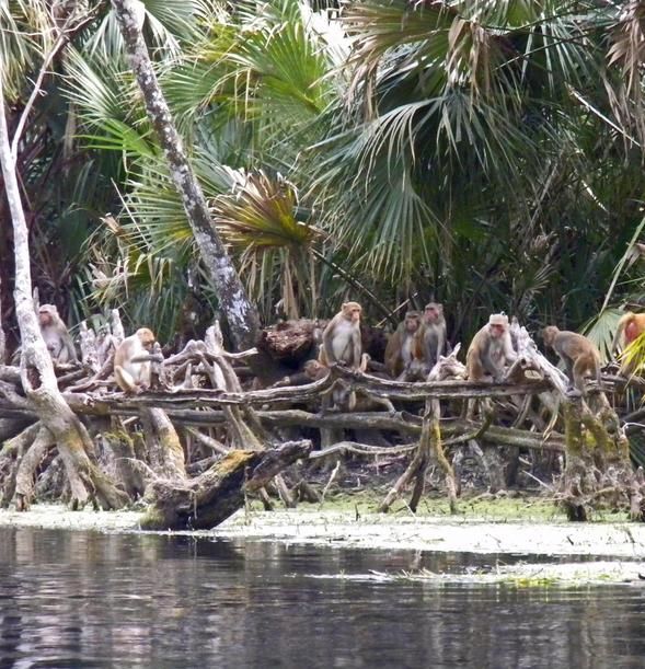 Silver Springs Silvers: Florida's Monkey River