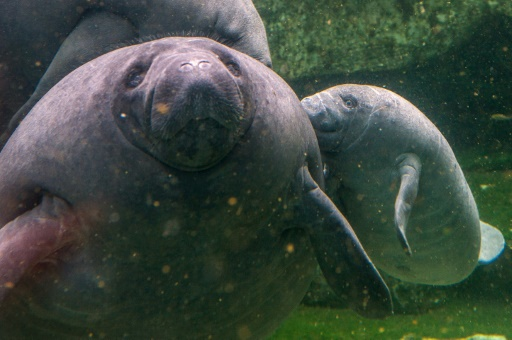 Record 6,250 manatees spotted in Florida waters