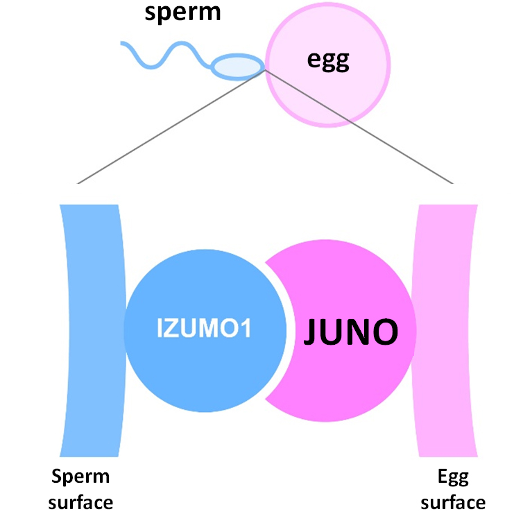 Research fertilizing eggs without sperm