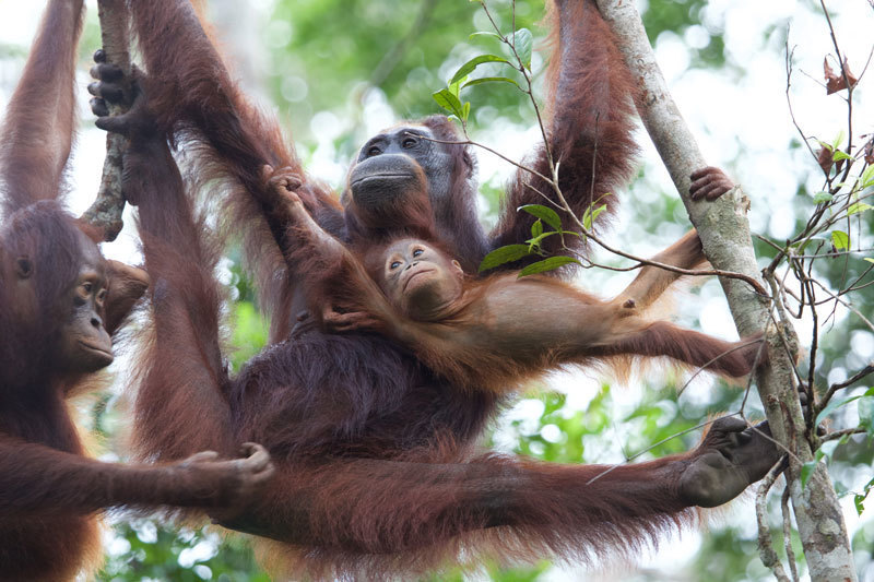 Image of: Sumatran Orangutan Orangutans At Camp Leakey Now Carry cocktail Of Genes From Different Subspecies That Would Not Normally Exist In The Wild Credit Graham L Banes Physorg Reintroduction Of Genetically Distinct Orangutan Subspecies Has Led