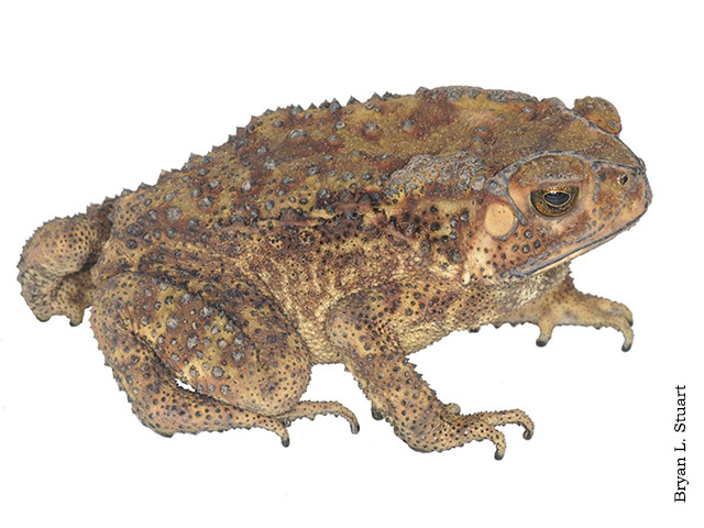 Asian river toads habitat