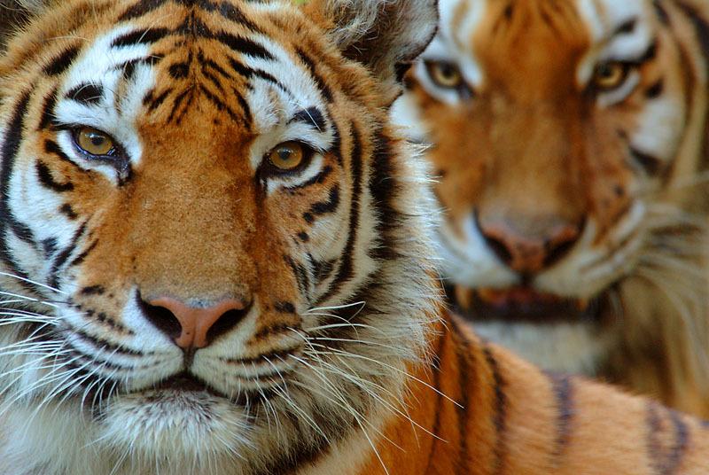 tiger - photo #41