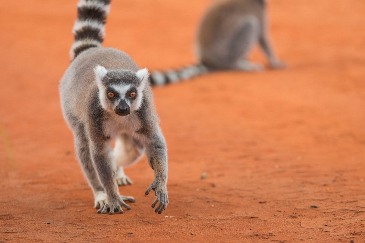 Ring Tailed Lemur Fight
