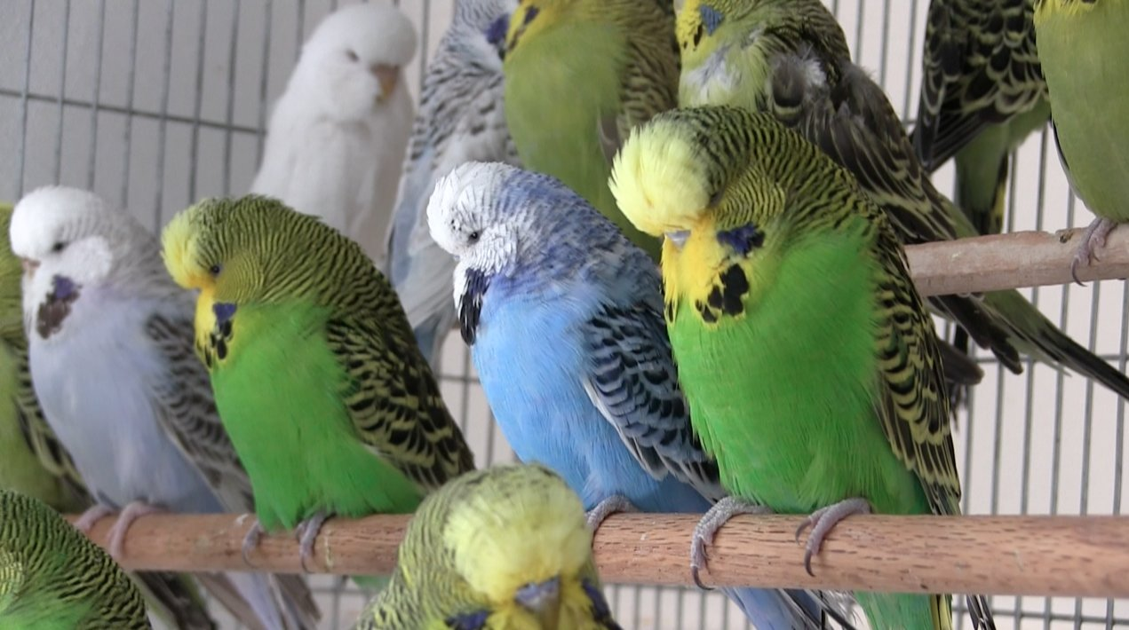 How Yellow And Blue Make Green In Parrots Parrot Diagram Page 1 White Budgies A Cage