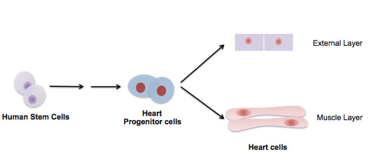 use stem cells to regenerate the external layer of a human heart, Muscles