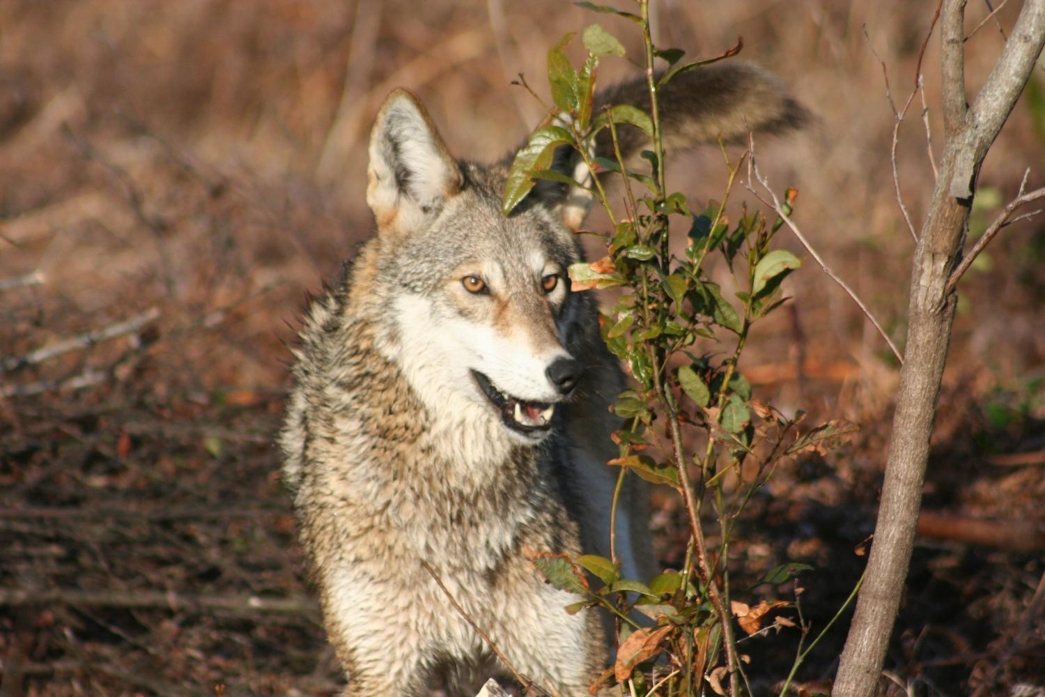 red wolf research paper Red wolf journal, winter 2014 issue 4 red wolf journal, spring 2015 issue5 red wolf journal, summer 2015 issue 6 red wolf journal on facebook.