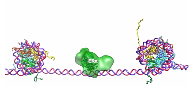 Molecular structure of estrogen
