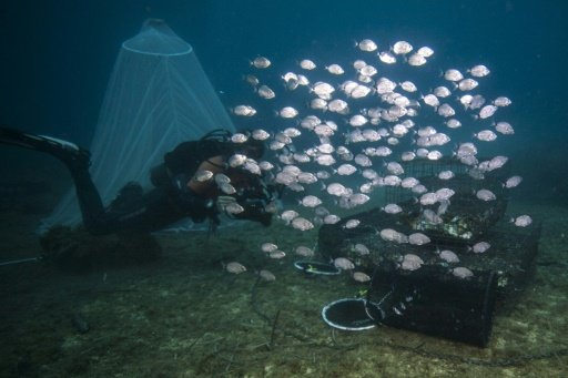 photo image Underwater nurseries help revive Mediterranean fish stocks
