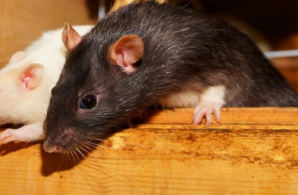Birth control for rats don 39 t laugh it 39 s a reality and cities want it - Matar ratas en casa ...