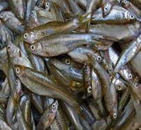 Compounds in an asian fermented fish paste could reduce for Is fish high in cholesterol