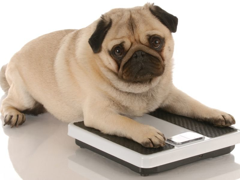 A heavy dog on scales
