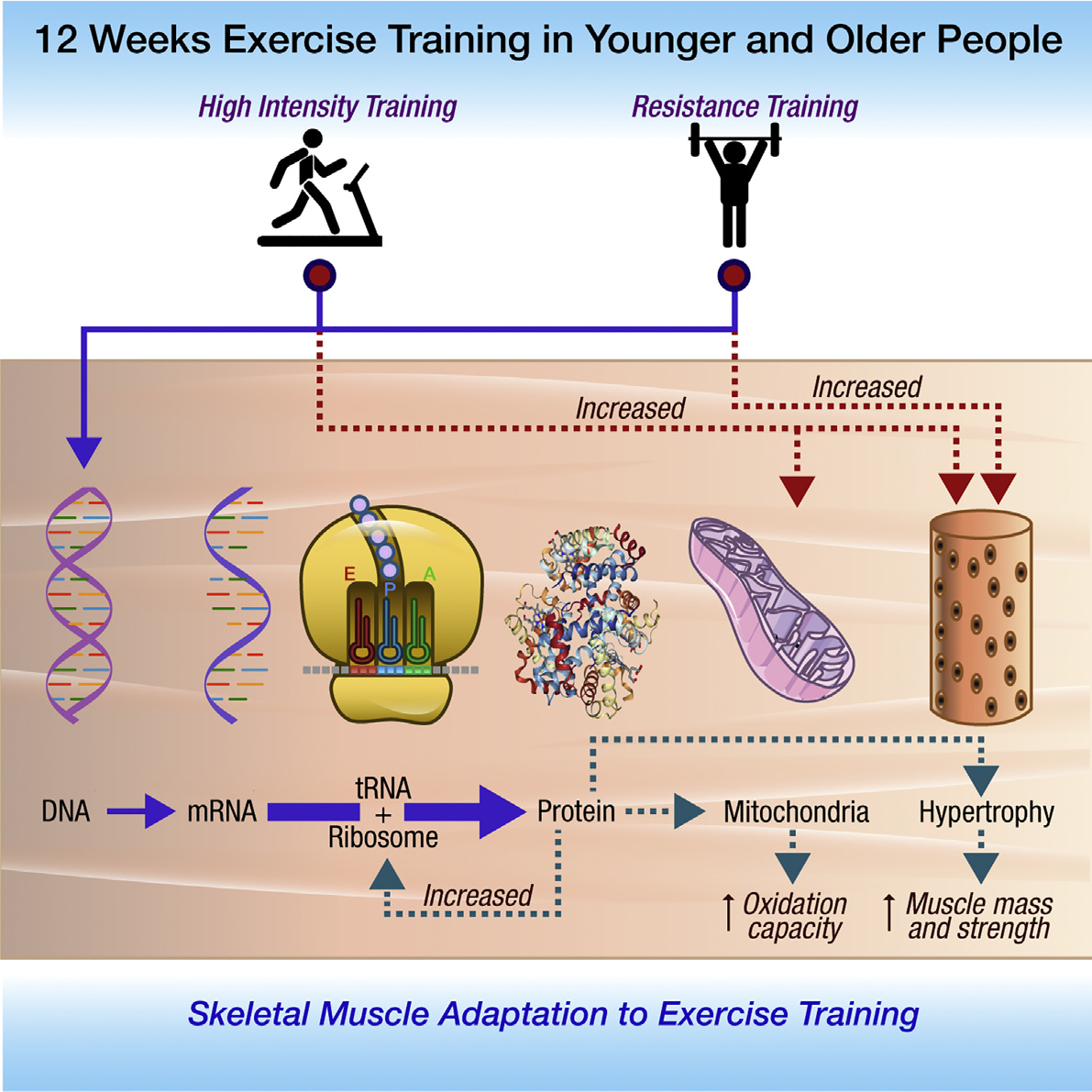 How Exercise Interval Training In Particular Helps Your Mitochondria Stave Off Old