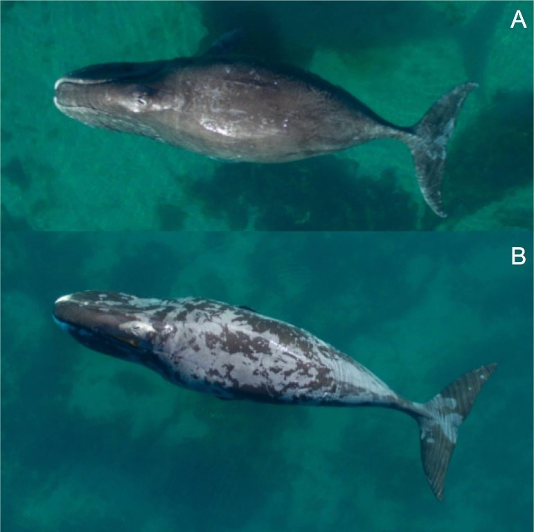 Bowhead whales come to Cumberland Sound in Nunavut to exfoliate