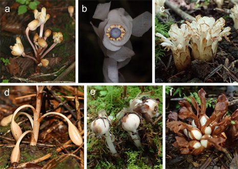 photo image Parasitic plants rely on unusual method to spread their seeds