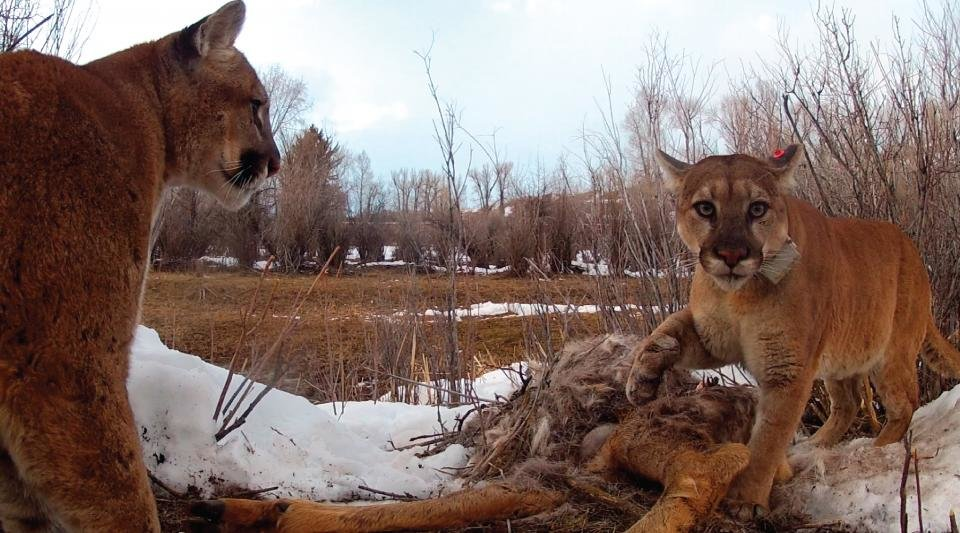 photo image Pumas are more social than previously thought