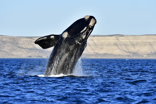 record number of whales counted in argentina u0026 39 s patagonia