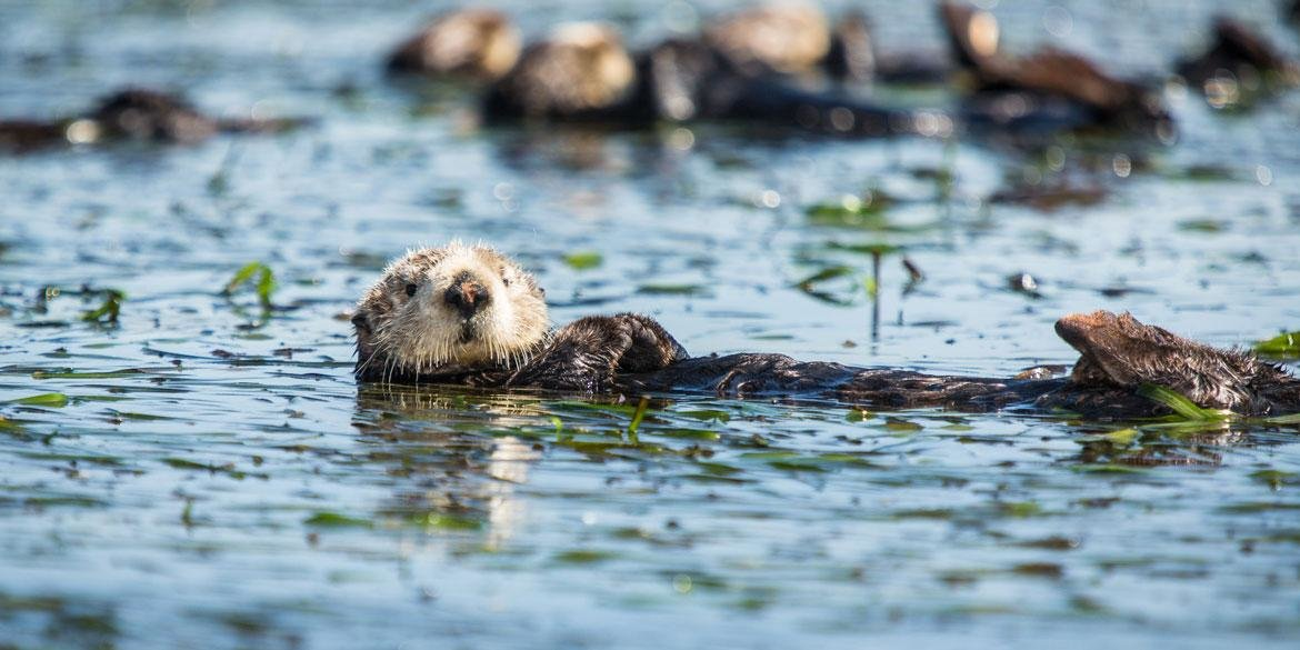 Robust Jaws And Crushing Bites Allow Sea Otters To Specialize Their