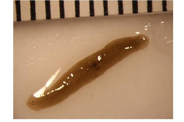 Space-traveling flatworms help scientists enhance understanding of regenerative health