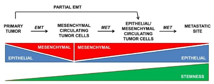 Team Unveils New Tgf Beta Functions In Liver Cancer
