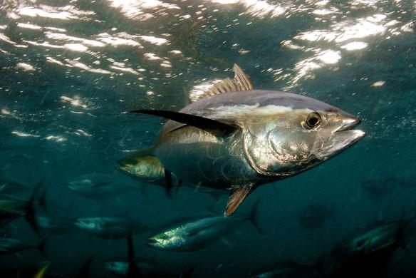 Eastern little tuna - photo#52