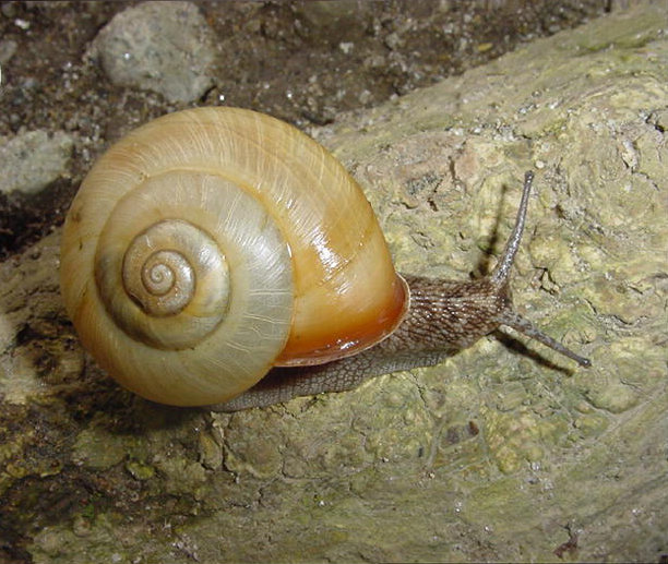 Twisted sex allows mirror-image snails to mate face-to-face, research finds