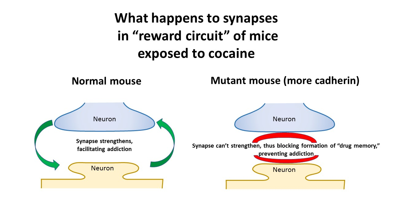 Lab Mouse Diagram