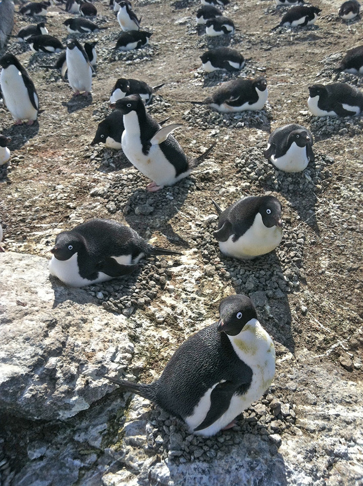 photo image Using penguins to monitor ocean health may be ineffective
